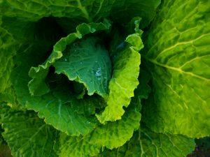พืชตระกูลกะหล่ำปลีที่มีความสามารถในการรับรู้เมื่อถูกกัดกินจากพวกแมลงได้