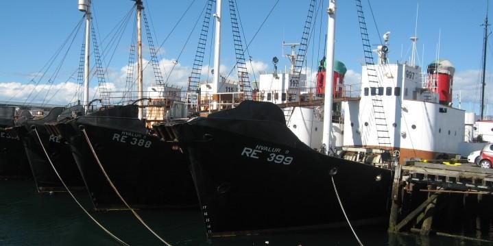 การล่าวาฬของไอซ์แลนด์ 4