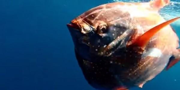 ค้นพบปลา Opah เป็นสัตว์เลือดอุ่น Warm Bodied Fish 1