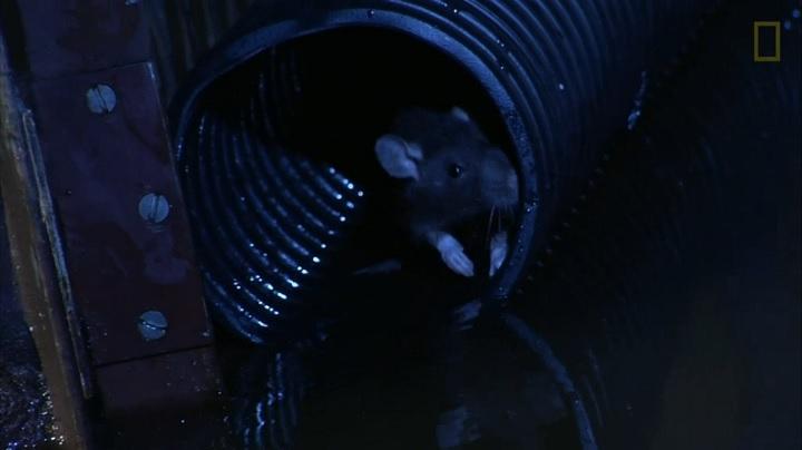 หนูเข้ามาในโถส้วมบ้านได้อย่างไร 1 ข่าวชีววิทยา