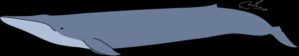 ขนาดวาฬสีน้ำเงิน ข่าวชีววิทยา
