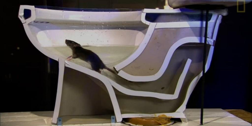 หนูเข้ามาในโถส้วมบ้านได้อย่างไร 5 ข่าวชีววิทยา