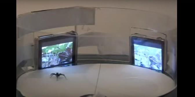 พฤติกรรมการผสมพันธุ์ของแมงมุม ข่าวชีววิทยา