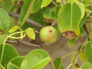 ผลของต้น Manchineel
