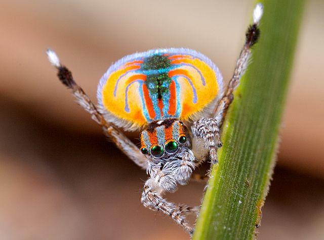 แมงมุมนกยูงเพศผู้ออสเตรเลีย
