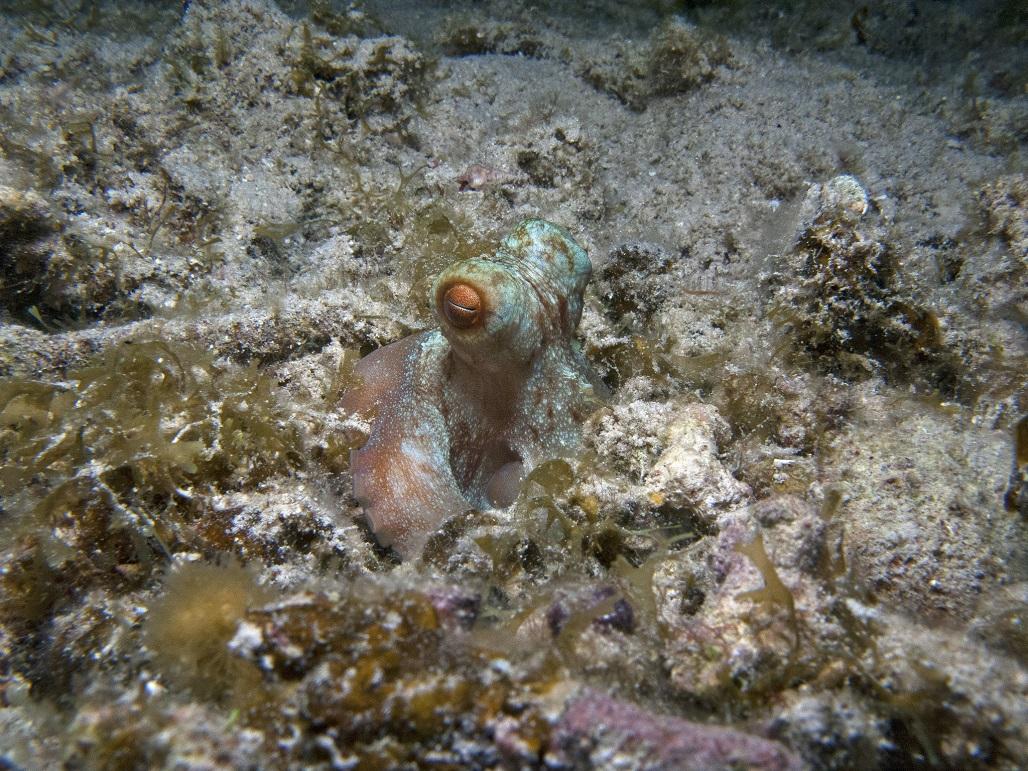 หมึกปะการังแคริบเบียน
