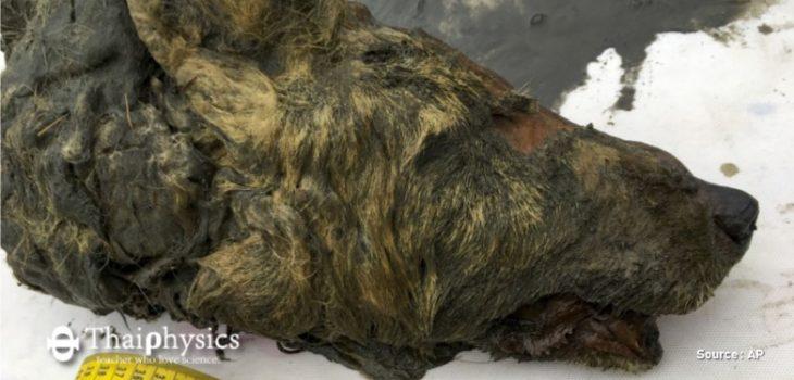 ข่าวพบหัวหมาป่าอายุสี่หมื่นปี