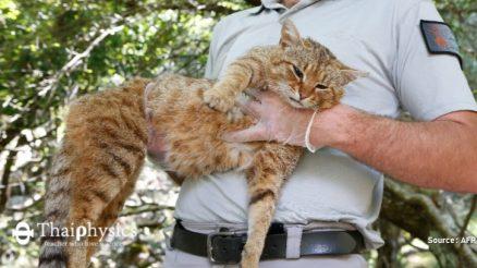 จิ้งจอกแมวแห่งเกาะคอร์ซิกา