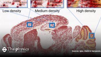 นักวิจัยใช้ AI ระบุจำนวนเซลล์ประสาทของหนู