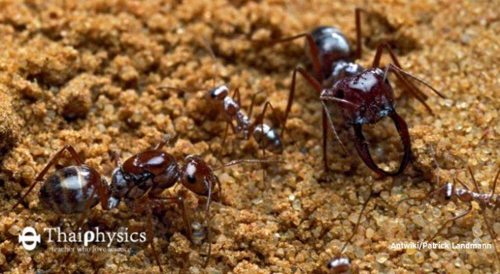 มดสีเงินวิ่งเร็วที่สุดในโลก silver ant